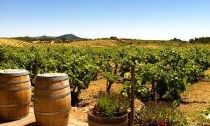 Vineyard in Sonoma California