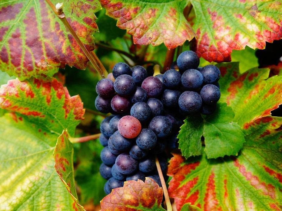 Burgundy Harvest Grapes A32D