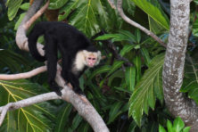 white-headed-capuchin-FEATURED