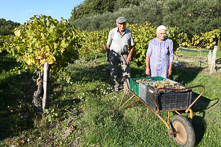 wine-harvest_featured-image_for-web
