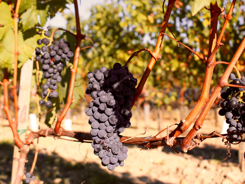 Brunello grapes on the vine