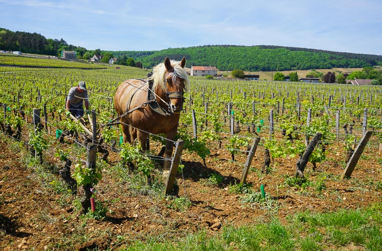 A horse-led plow in the vineyard at Chassagne-Montrachet in Burgundy