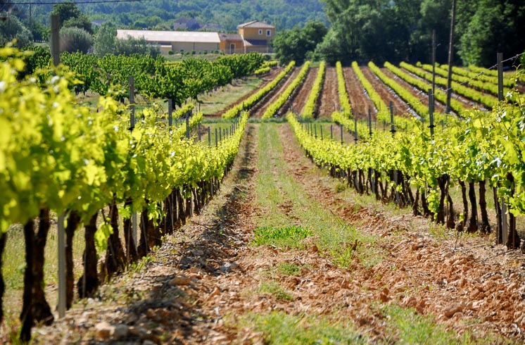 Rows of young green grapevines in a vineyard in Provence, France