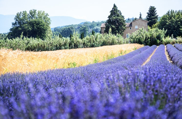 Rows of purple lavender growing beside wheat fields with a stone farmhouse in the background