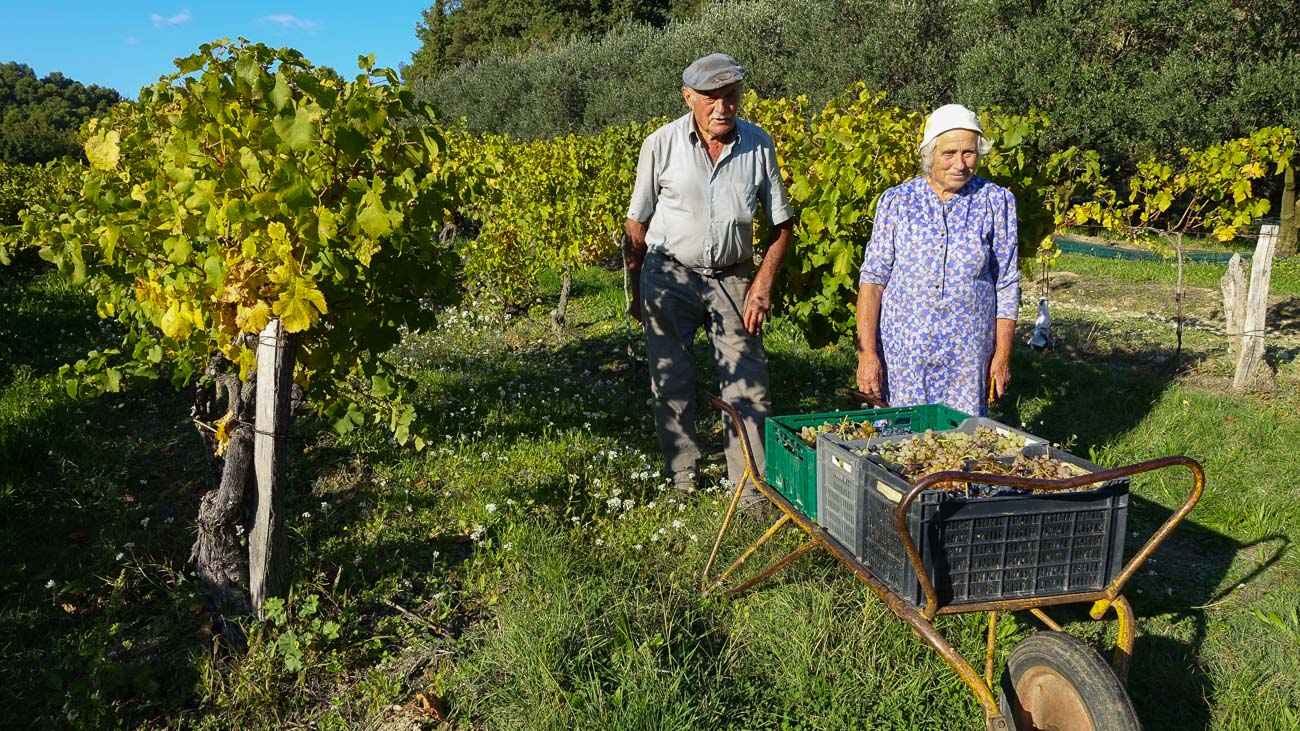 A elderly local man and woman harvesting grapes in a vineyard in France's Côtes du Rhône appellation