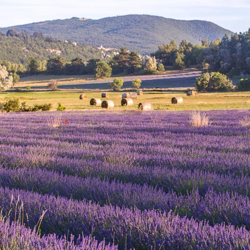 Rows of lavender in full bloom, with hay bales and mountains in the distance in Provence, France