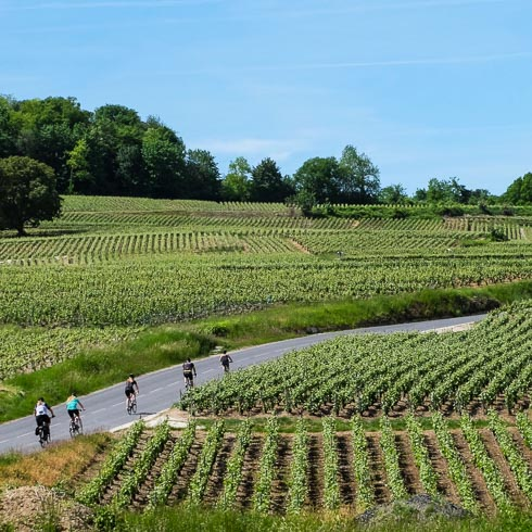 Five DuVine cyclists in a single file line, riding on a vineyard road in Champagne, France