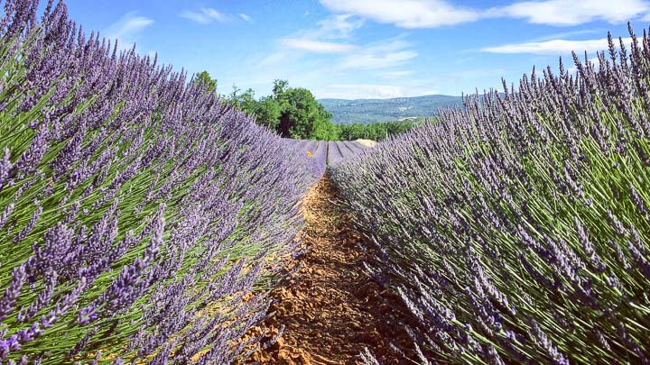 View from between rows of purple lavender growing in a field in Provence, France