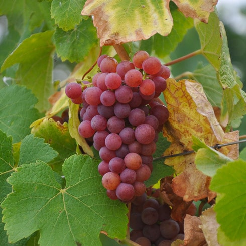Red grapes on the vine in Ribeauvillé, France