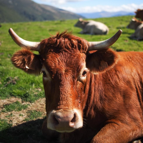 Close-up of a bull resting on a col in the Pyrenees, France